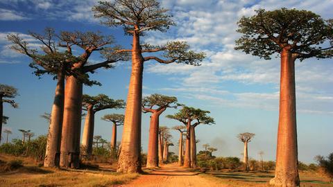 baobab-trees_large